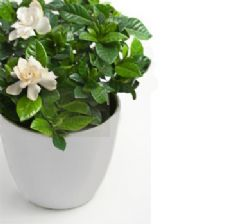 Large gardenia in a pot